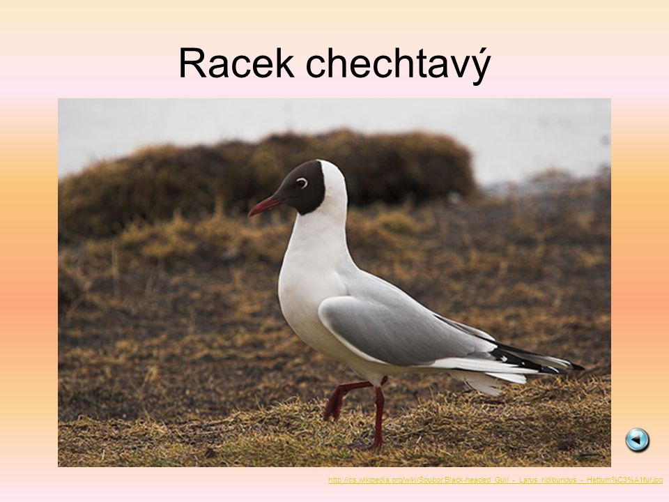 Racek chechtavý http://cs.wikipedia.org/wiki/Soubor:Black-headed_Gull_-_Larus_ridibundus_-_Hettum%C3%A1fur.jpg