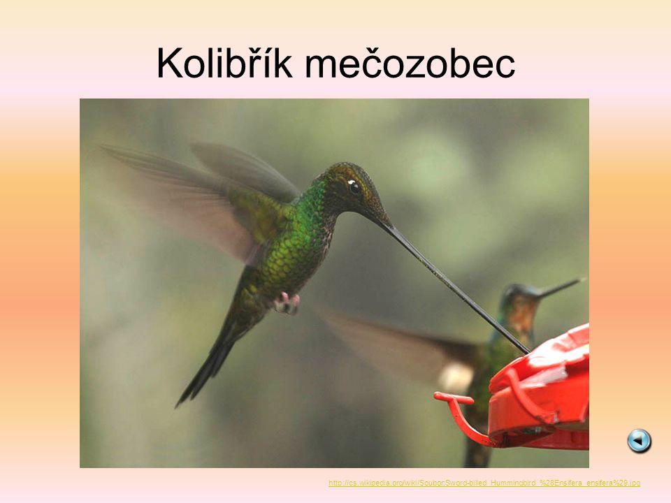 Kolibřík mečozobec http://cs.wikipedia.org/wiki/Soubor:Sword-billed_Hummingbird_%28Ensifera_ensifera%29.jpg