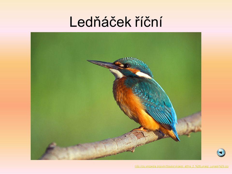 Ledňáček říční http://cs.wikipedia.org/wiki/Soubor:Alcedo_atthis_2_%28Lukasz_Lukasik%29.jpg