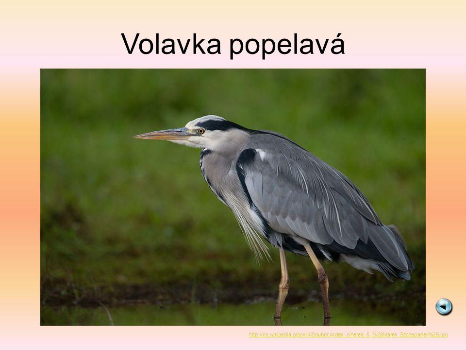 Volavka popelavá http://cs.wikipedia.org/wiki/Soubor:Ardea_cinerea_5_%28Marek_Szczepanek%29.jpg
