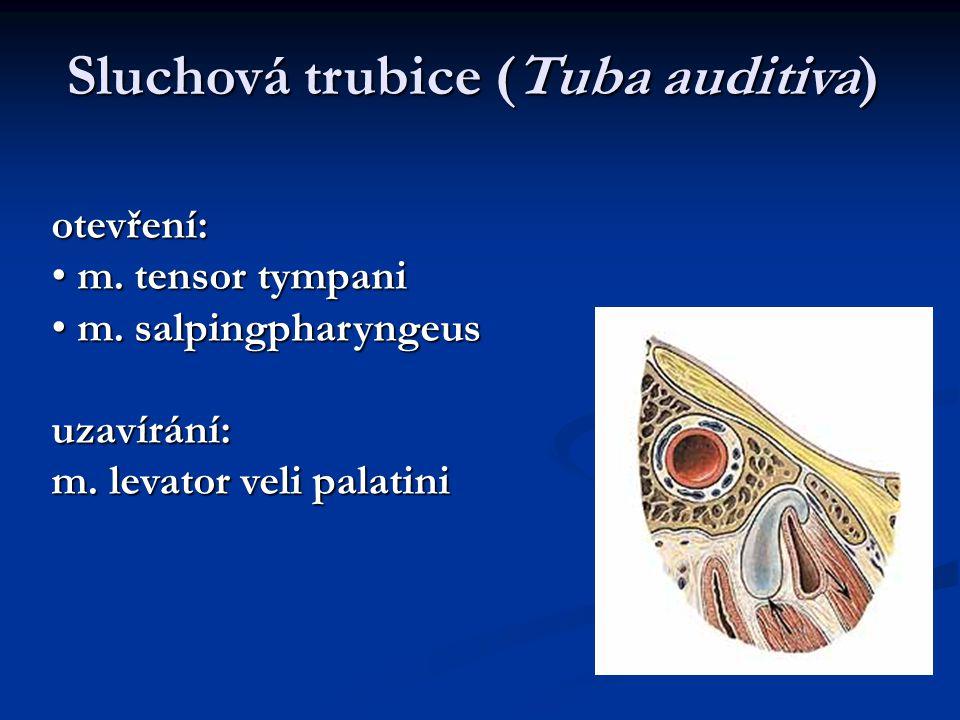 otevření: m. tensor tympani m. tensor tympani m. salpingpharyngeus m. salpingpharyngeusuzavírání: m. levator veli palatini Sluchová trubice (Tuba audi