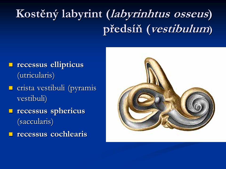 Kostěný labyrint (labyrinhtus osseus) předsíň (vestibulum ) recessus ellipticus (utricularis) recessus ellipticus (utricularis) crista vestibuli (pyra