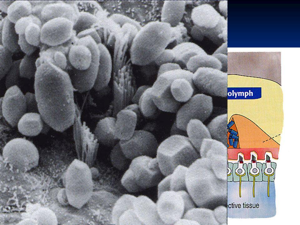 Otolitické orgány saculus et utriculus makula makula vláskové buňky vláskové buňky podpůrné buňky podpůrné buňky gelová vrstva gelová vrstva otolity -