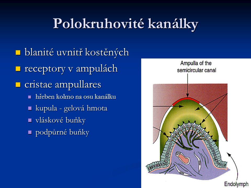 Polokruhovité kanálky blanité uvnitř kostěných blanité uvnitř kostěných receptory v ampulách receptory v ampulách cristae ampullares cristae ampullare