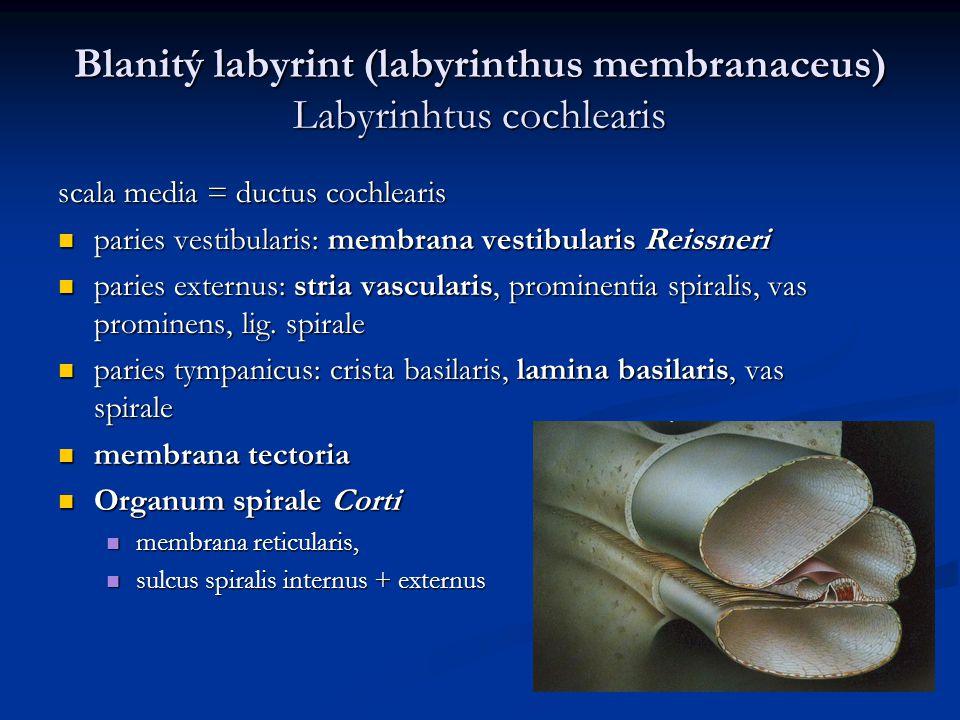 Blanitý labyrint (labyrinthus membranaceus) Labyrinhtus cochlearis scala media = ductus cochlearis paries vestibularis: membrana vestibularis Reissner