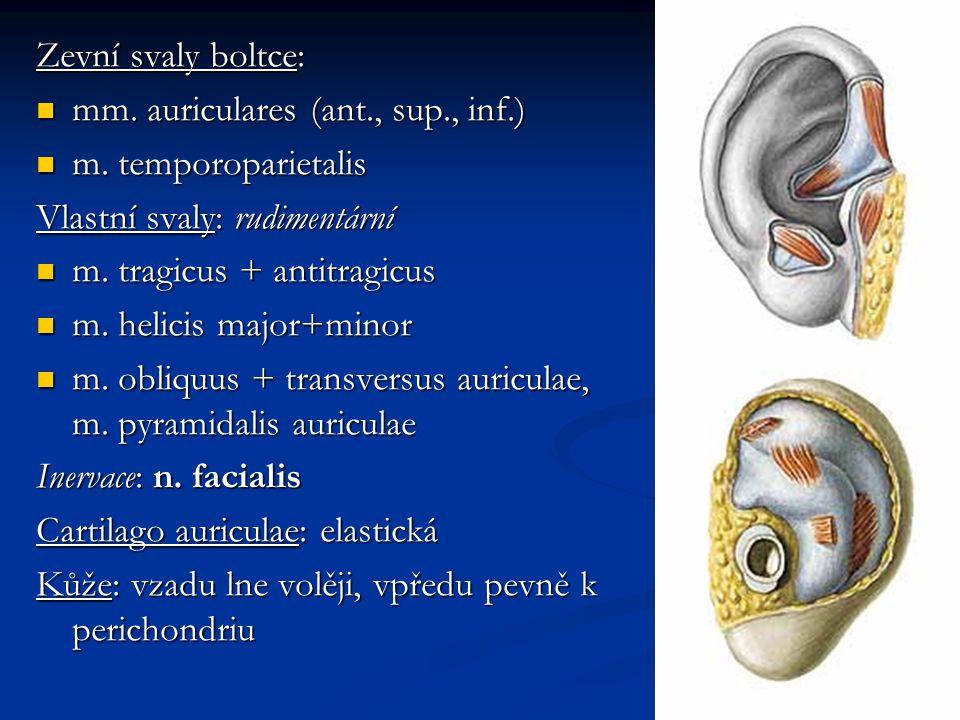 Otolitické orgány saculus et utriculus makula makula vláskové buňky vláskové buňky podpůrné buňky podpůrné buňky gelová vrstva gelová vrstva otolity - krystaly CaCO 3 otolity - krystaly CaCO 3