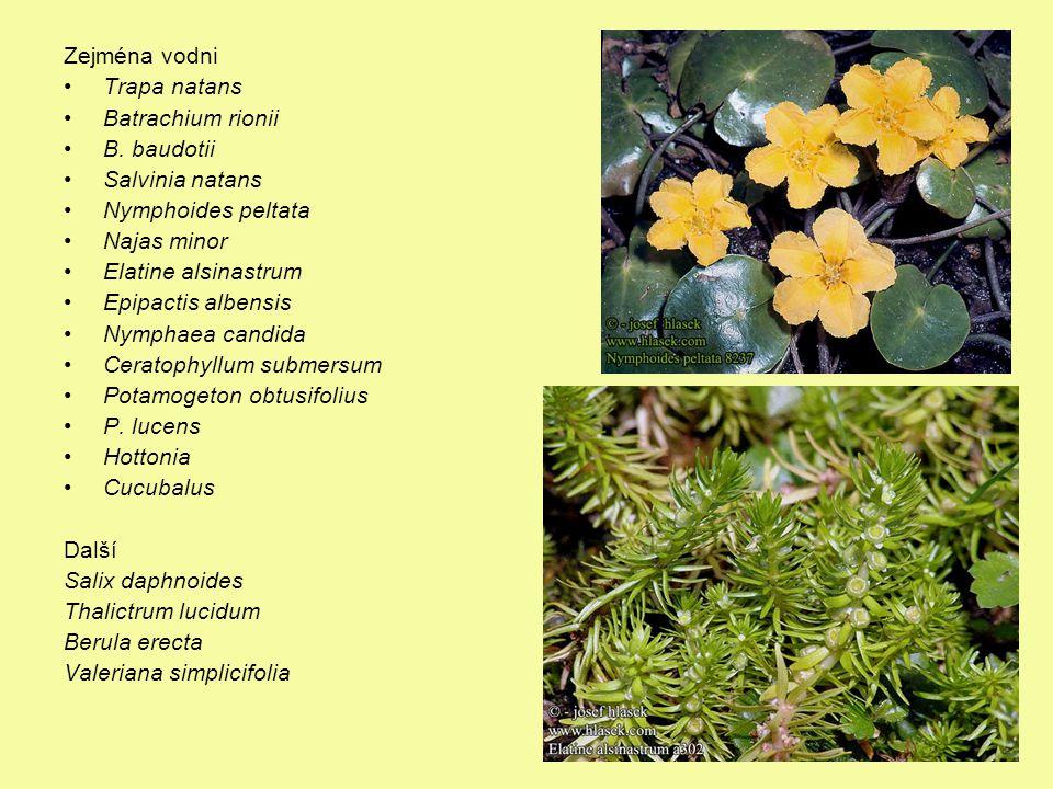 Významné druhy Zejména vodni Trapa natans Batrachium rionii B. baudotii Salvinia natans Nymphoides peltata Najas minor Elatine alsinastrum Epipactis a