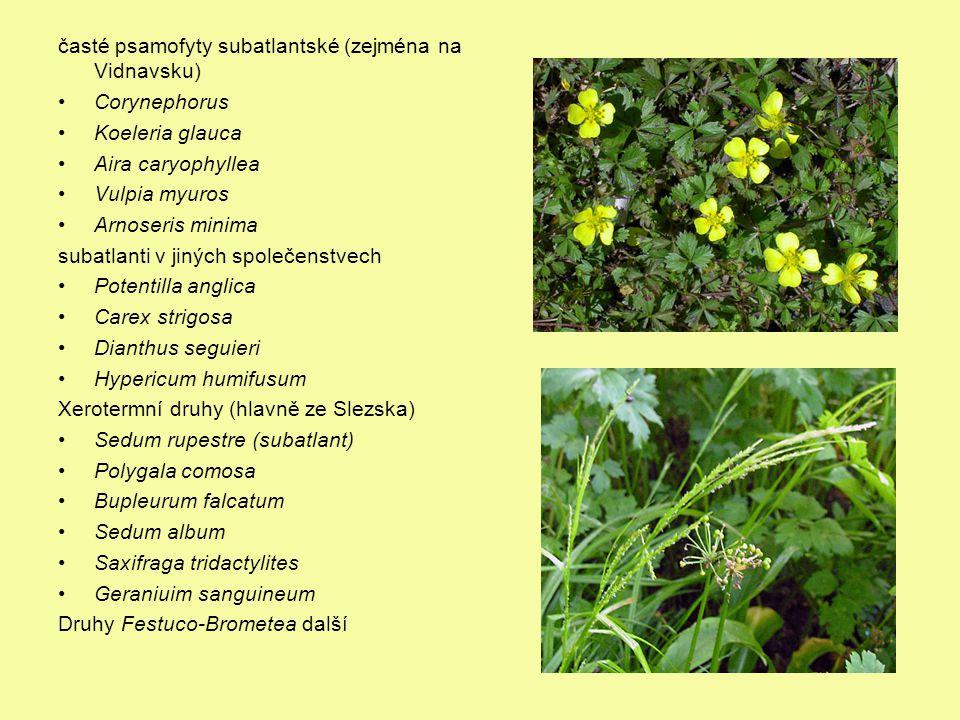 časté psamofyty subatlantské (zejména na Vidnavsku) Corynephorus Koeleria glauca Aira caryophyllea Vulpia myuros Arnoseris minima subatlanti v jiných