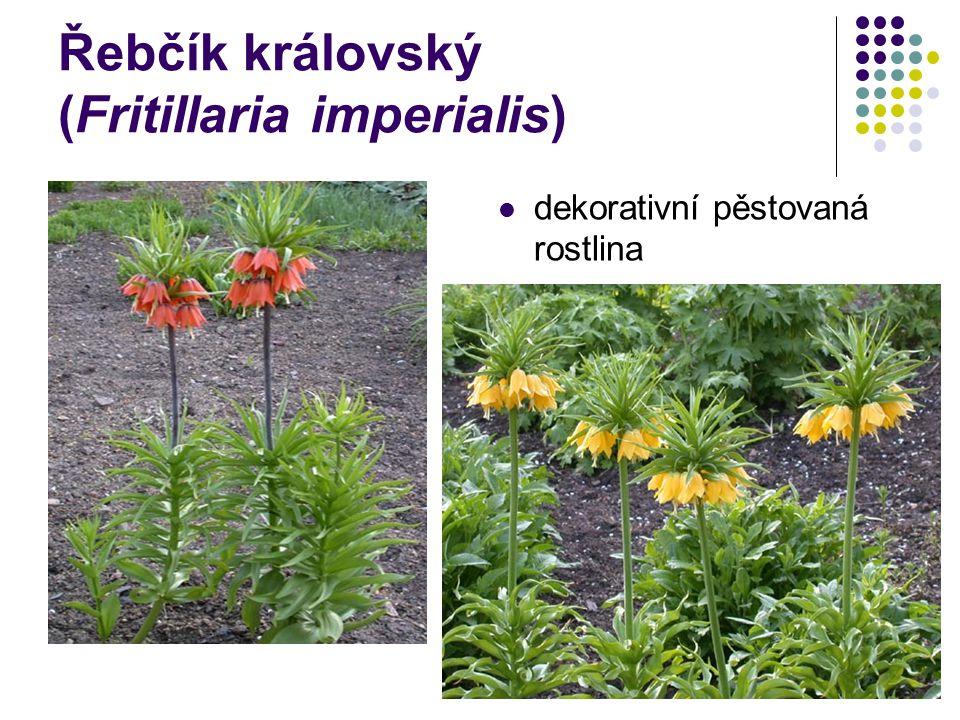 Řebčík královský (Fritillaria imperialis) dekorativní pěstovaná rostlina