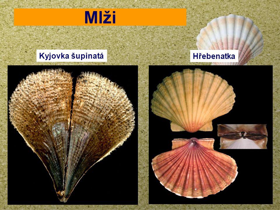 your name Mlži Kyjovka šupinatá Hřebenatka