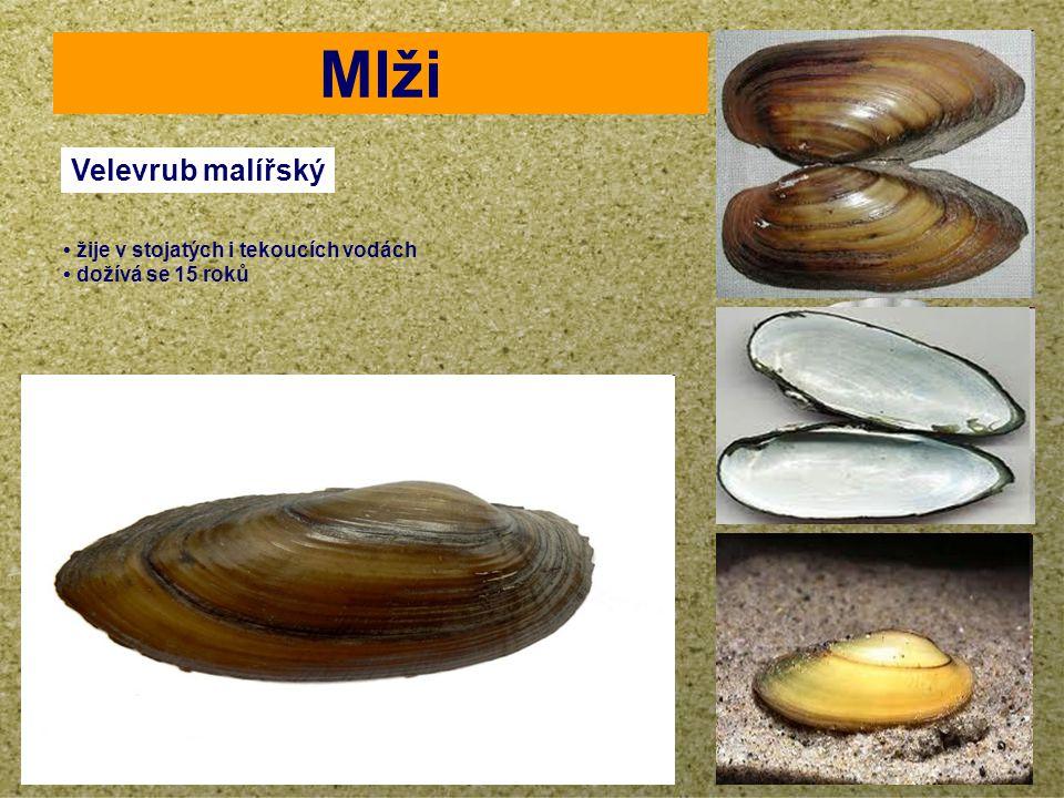 your name Mlži Velevrub malířský žije v stojatých i tekoucích vodách dožívá se 15 roků