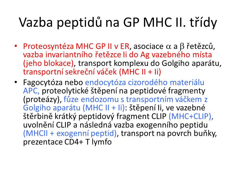 Vazba peptidů na GP MHC II.