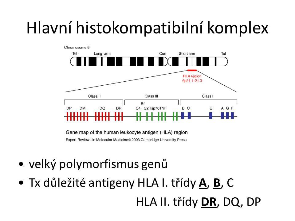 Hlavní histokompatibilní komplex velký polymorfismus genů Tx důležité antigeny HLA I.