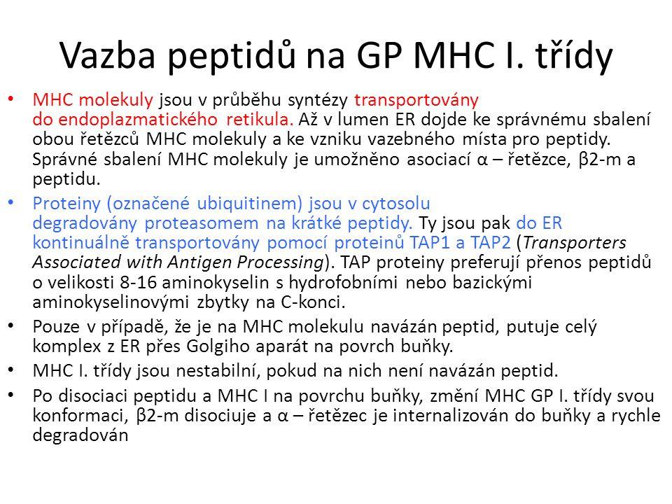 Vazba peptidů na GP MHC I.