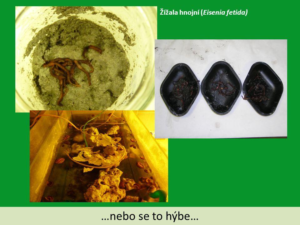 …nebo se to hýbe… Žížala hnojní (Eisenia fetida)