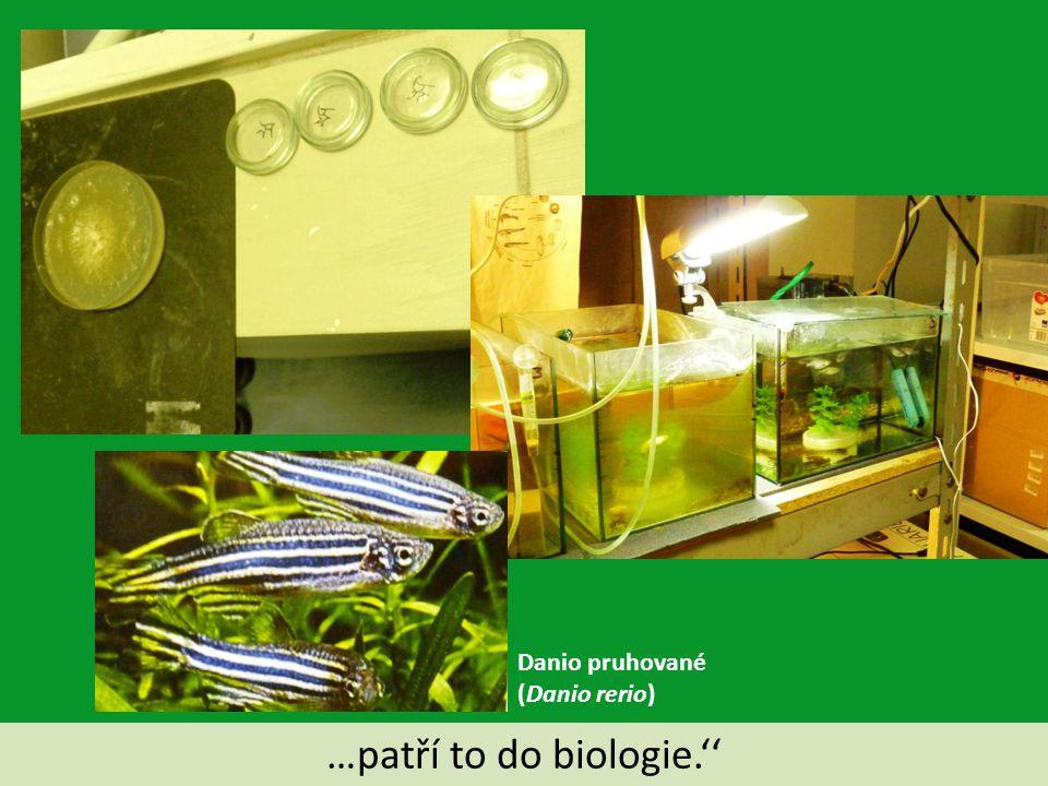 Danio pruhované (Danio rerio) …patří to do biologie.''