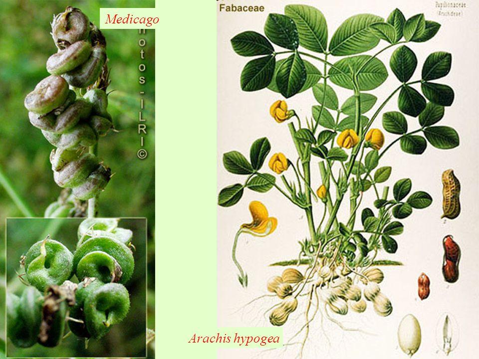 Medicago Arachis hypogea
