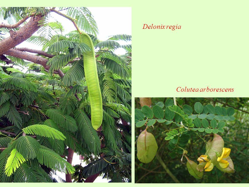 Delonix regia Colutea arborescens