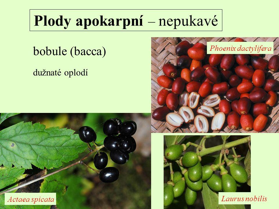 Plody apokarpní – nepukavé bobule (bacca) dužnaté oplodí Actaea spicata Phoenix dactylifera Laurus nobilis