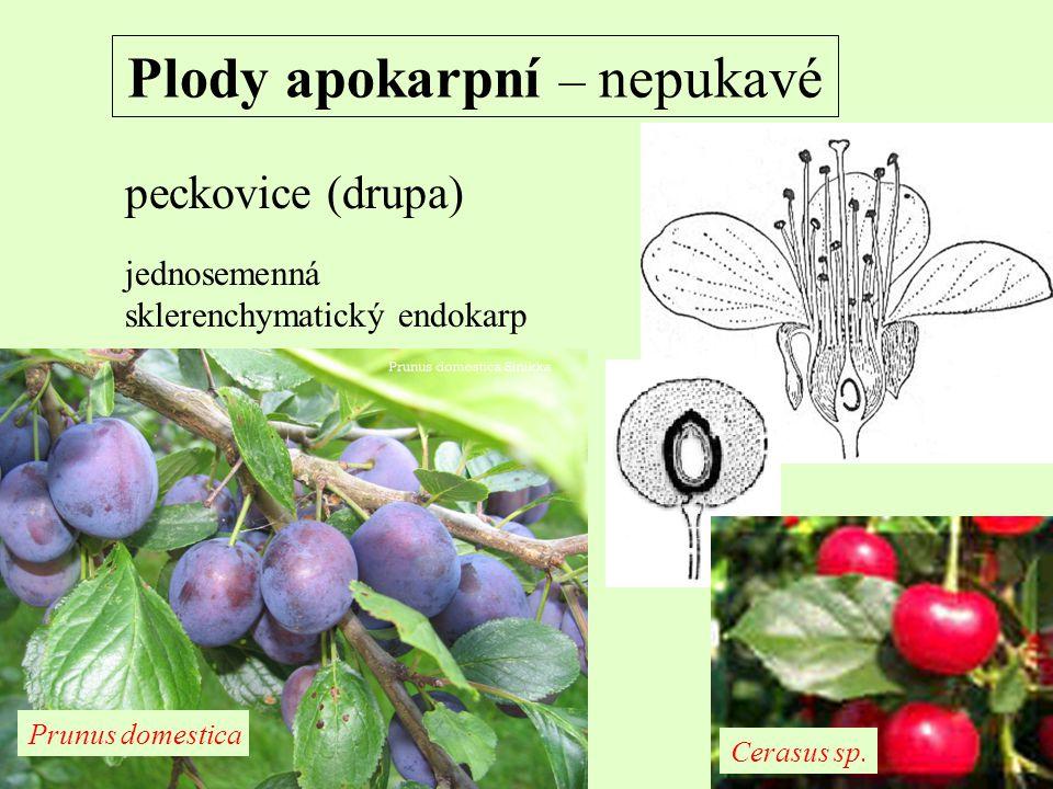 Plody apokarpní – nepukavé peckovice (drupa) jednosemenná sklerenchymatický endokarp Prunus domestica Cerasus sp.