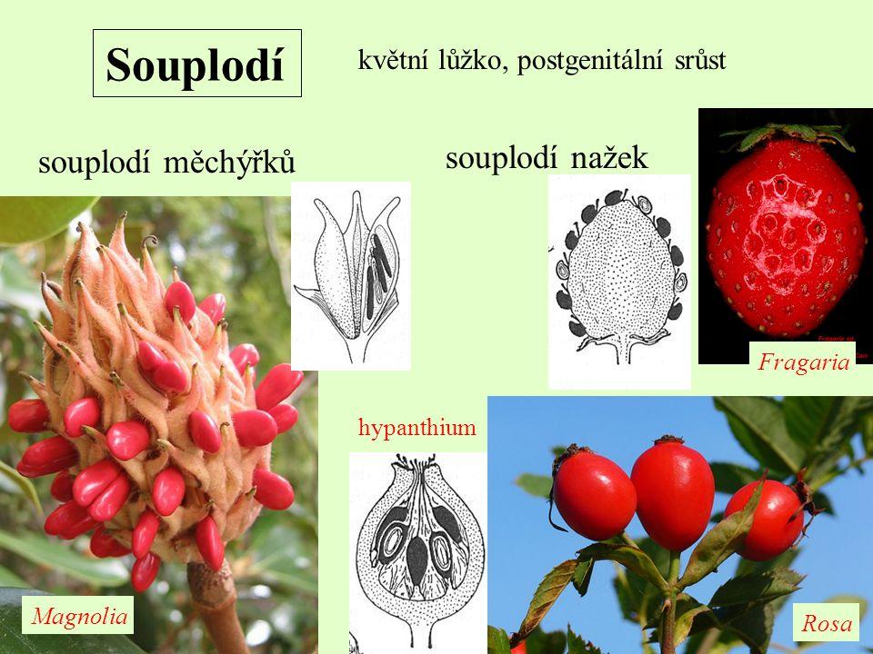 Souplodí květní lůžko, postgenitální srůst souplodí měchýřků souplodí nažek Fragaria Rosa Magnolia hypanthium