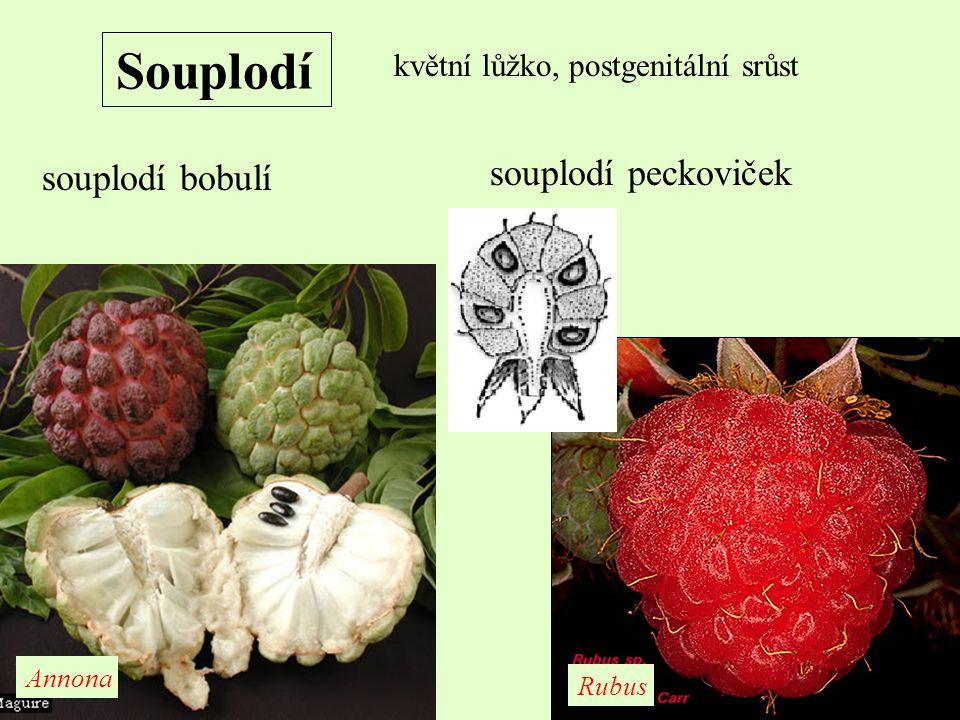 Souplodí květní lůžko, postgenitální srůst souplodí bobulí souplodí peckoviček Annona Rubus