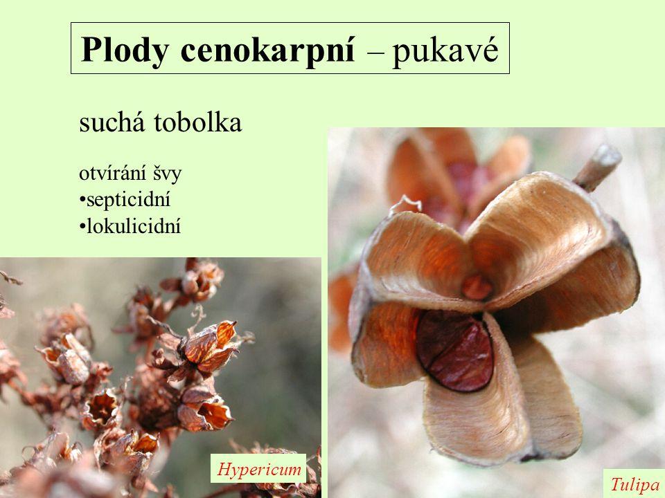 Plody cenokarpní – pukavé suchá tobolka otvírání švy septicidní lokulicidní Hypericum Tulipa