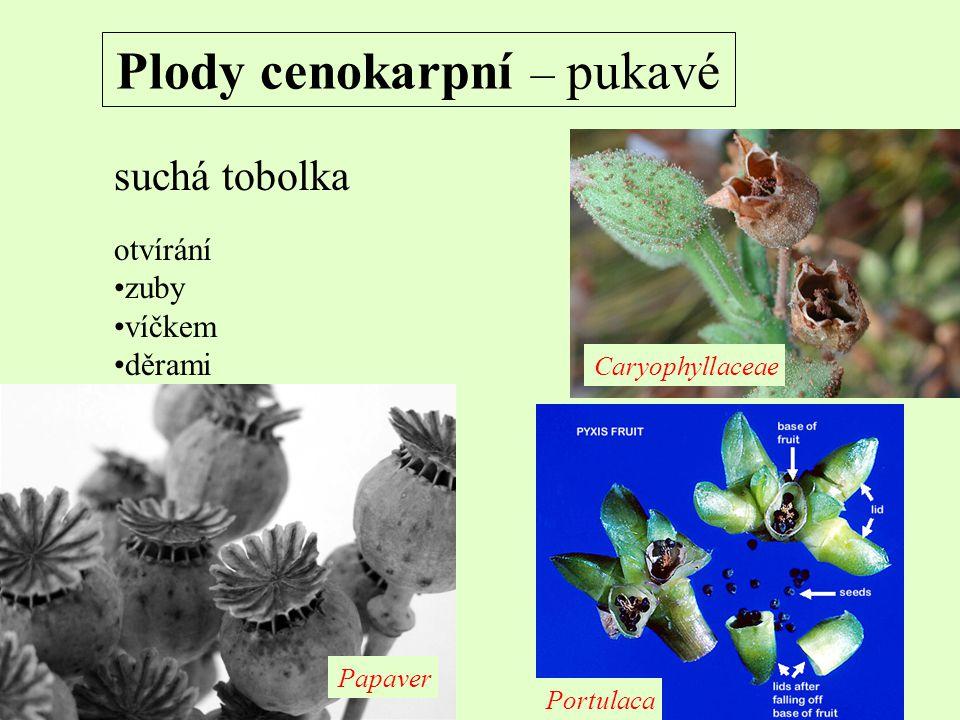 Plody cenokarpní – pukavé suchá tobolka otvírání zuby víčkem děrami Portulaca Caryophyllaceae Papaver