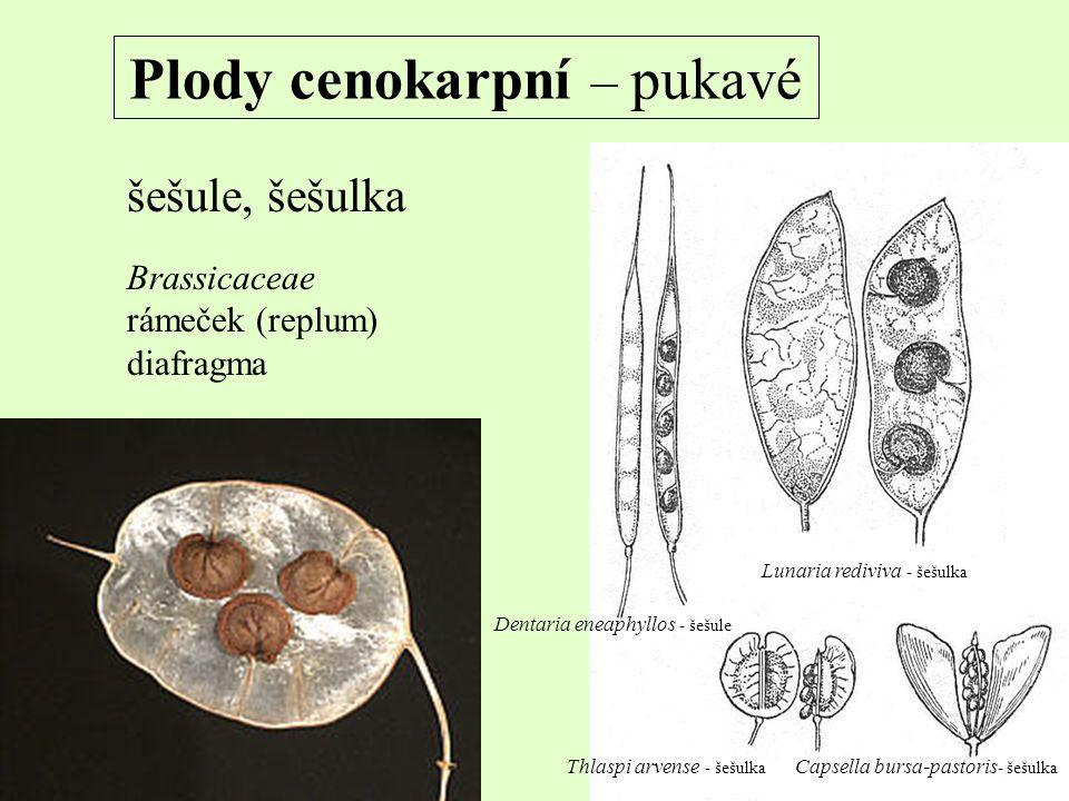 Plody cenokarpní – pukavé šešule, šešulka Brassicaceae rámeček (replum) diafragma Dentaria eneaphyllos - šešule Lunaria rediviva - šešulka Thlaspi arv