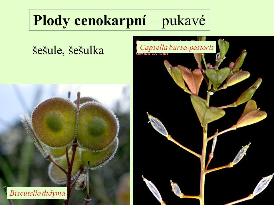 Plody cenokarpní – pukavé šešule, šešulka Capsella bursa-pastoris Biscutella didyma