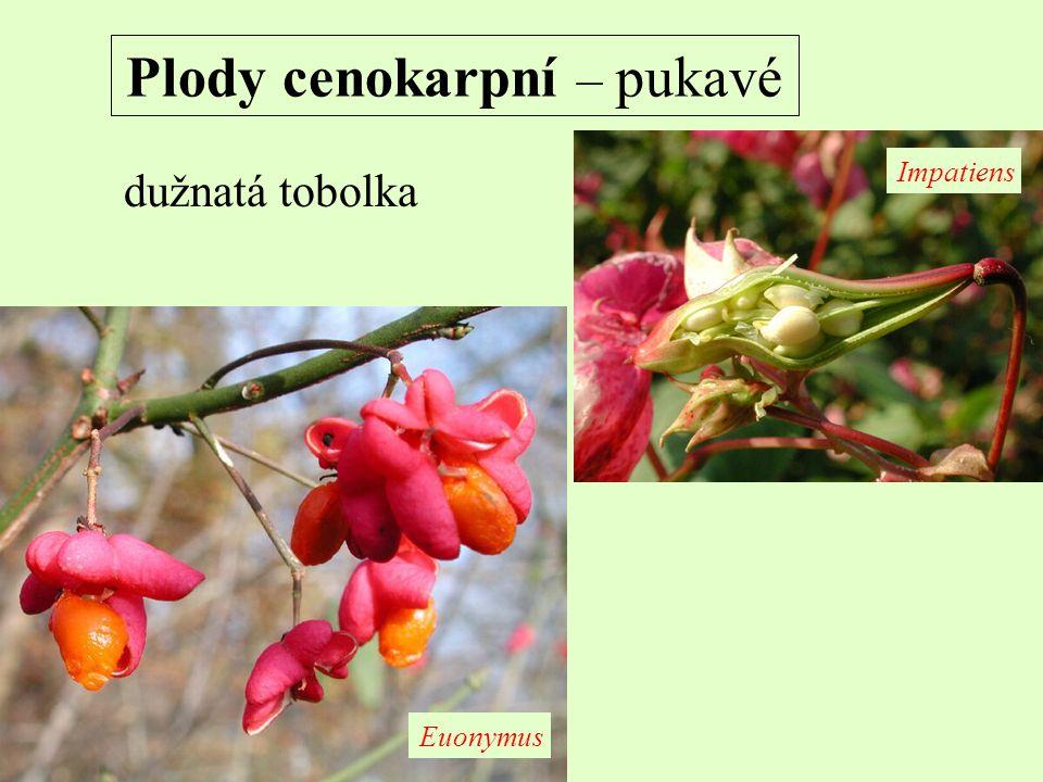 Plody cenokarpní – pukavé dužnatá tobolka Impatiens Euonymus