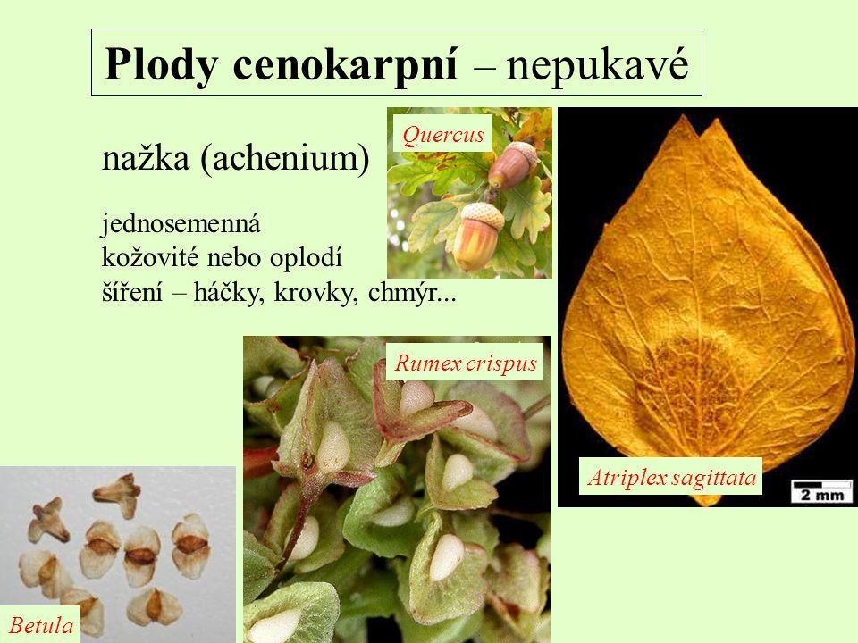 Plody cenokarpní – nepukavé nažka (achenium) jednosemenná kožovité nebo oplodí šíření – háčky, krovky, chmýr... Atriplex sagittata Rumex crispus Betul