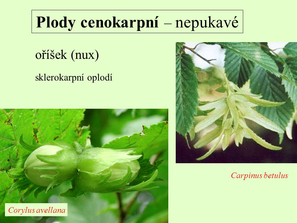 Plody cenokarpní – nepukavé oříšek (nux) sklerokarpní oplodí Carpinus betulus Corylus avellana