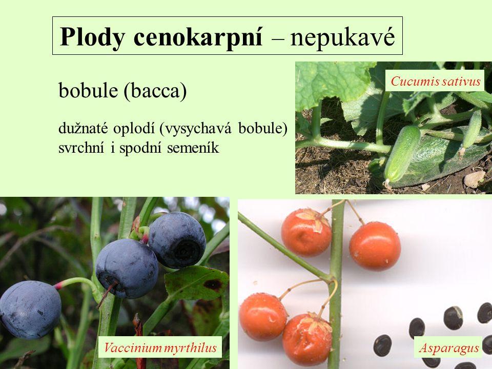 Plody cenokarpní – nepukavé bobule (bacca) dužnaté oplodí (vysychavá bobule) svrchní i spodní semeník AsparagusVaccinium myrthilus Cucumis sativus