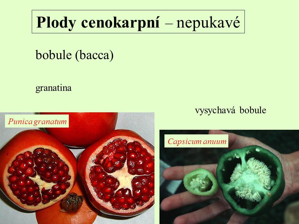 Plody cenokarpní – nepukavé bobule (bacca) vysychavá bobule granatina Punica granatum Capsicum anuum