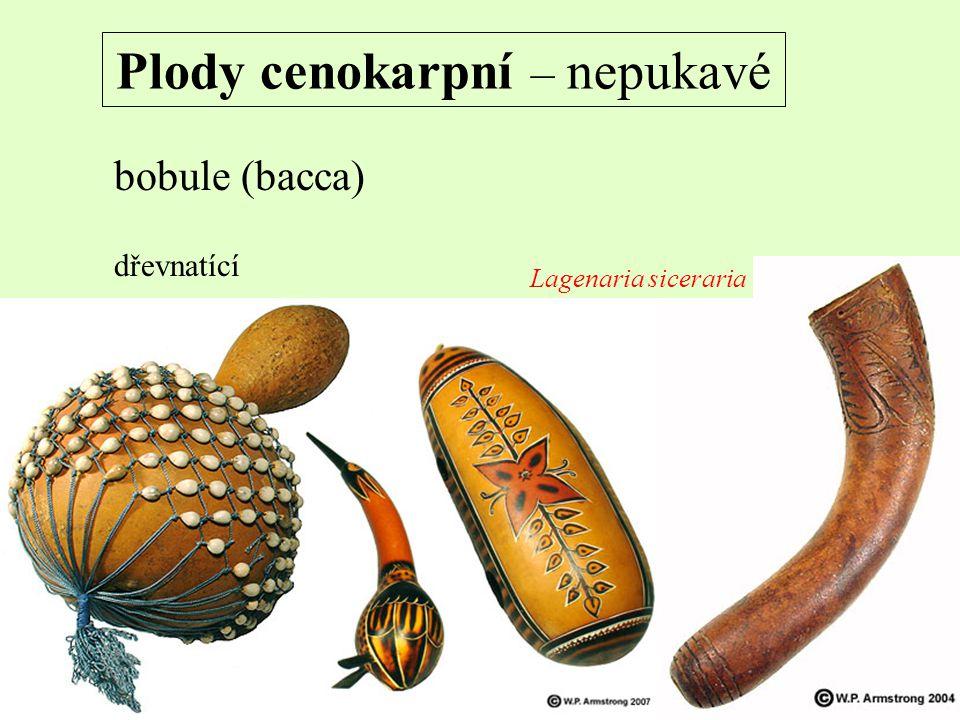 Plody cenokarpní – nepukavé bobule (bacca) dřevnatící Lagenaria siceraria