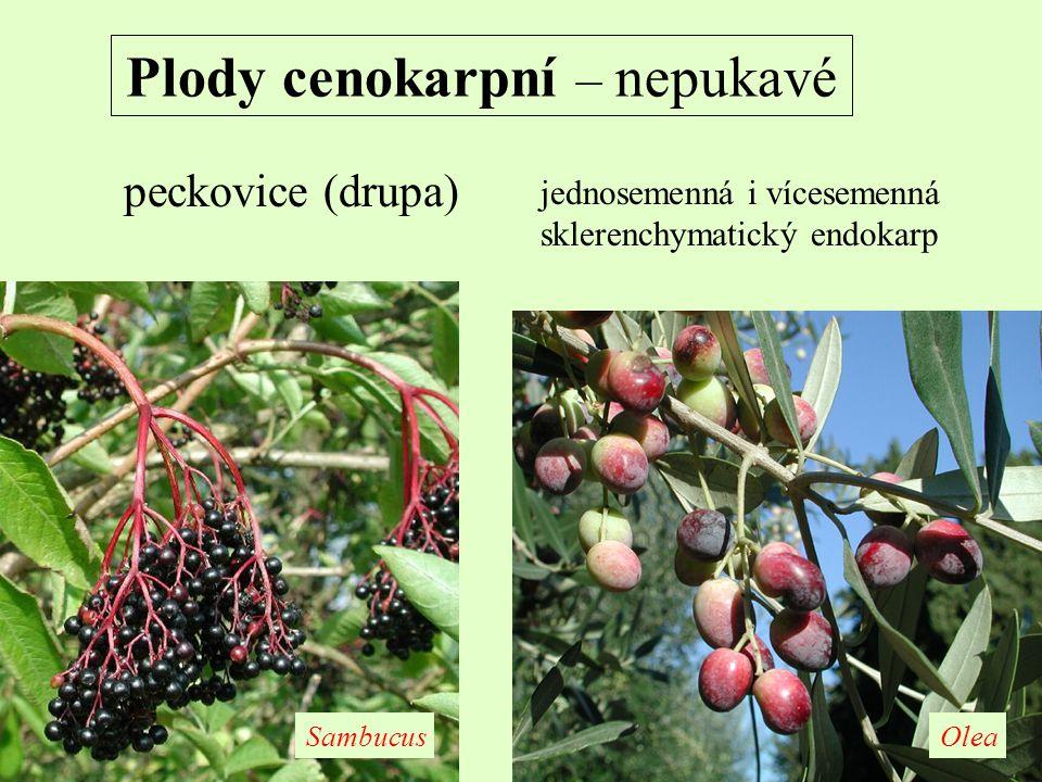 Plody cenokarpní – nepukavé peckovice (drupa) jednosemenná i vícesemenná sklerenchymatický endokarp OleaSambucus