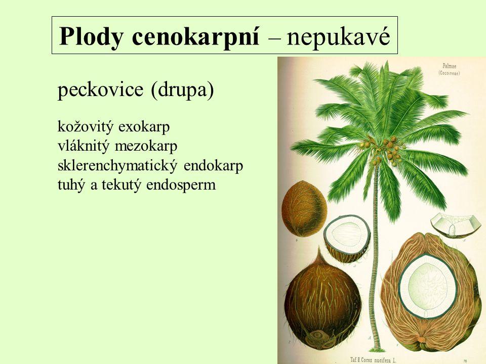 Plody cenokarpní – nepukavé peckovice (drupa) kožovitý exokarp vláknitý mezokarp sklerenchymatický endokarp tuhý a tekutý endosperm