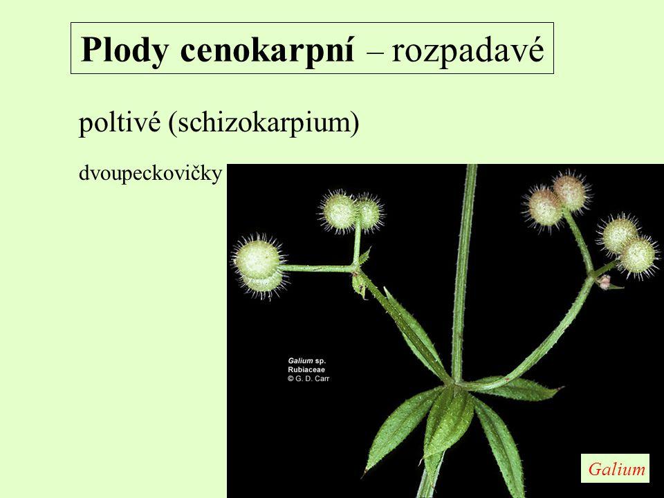 Plody cenokarpní – rozpadavé poltivé (schizokarpium) dvoupeckovičky Galium