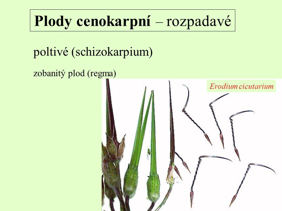 Plody cenokarpní – rozpadavé poltivé (schizokarpium) zobanitý plod (regma) Erodium cicutarium