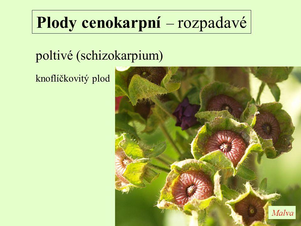 Plody cenokarpní – rozpadavé poltivé (schizokarpium) knoflíčkovitý plod Malva