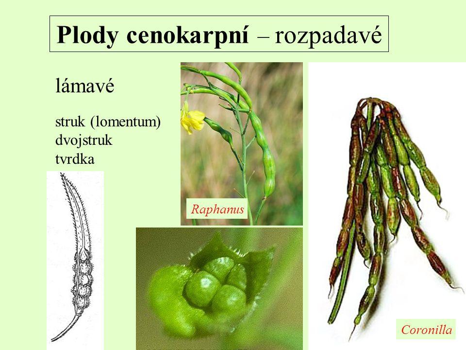 Plody cenokarpní – rozpadavé lámavé struk (lomentum) dvojstruk tvrdka Coronilla Raphanus