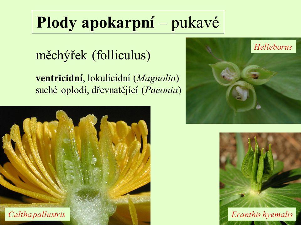 Plody apokarpní – pukavé měchýřek (folliculus) ventricidní, lokulicidní (Magnolia) suché oplodí, dřevnatějící (Paeonia) Helleborus Caltha pallustrisEr