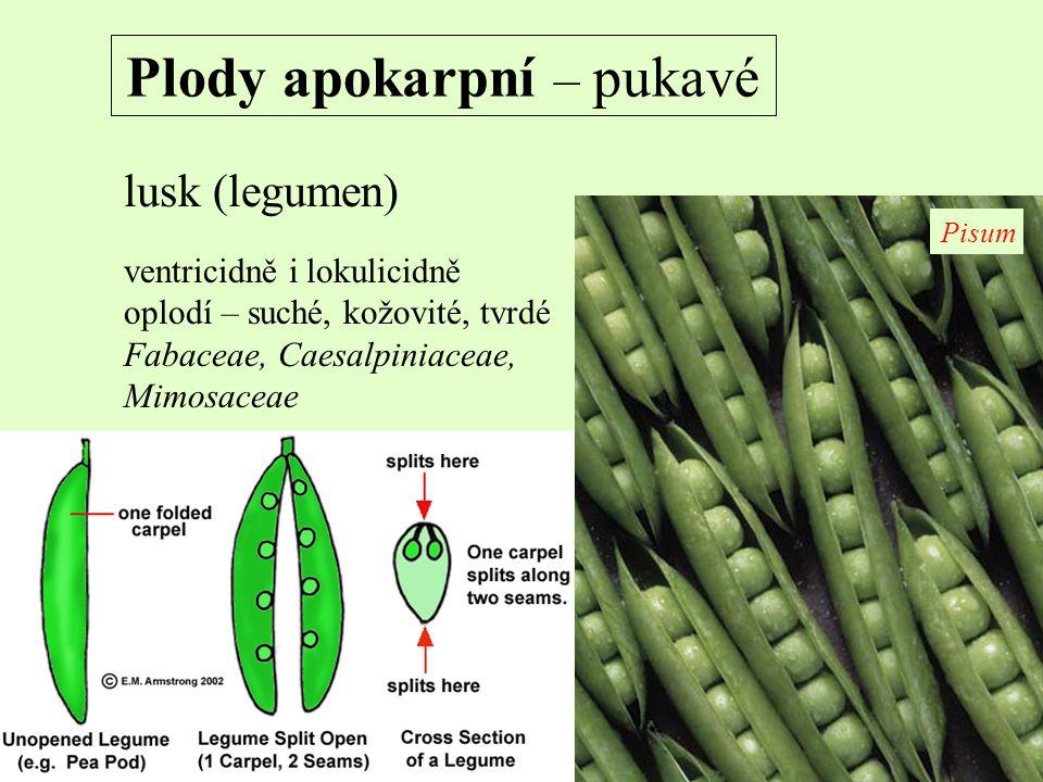 Plody apokarpní – pukavé lusk (legumen) ventricidně i lokulicidně oplodí – suché, kožovité, tvrdé Fabaceae, Caesalpiniaceae, Mimosaceae Pisum