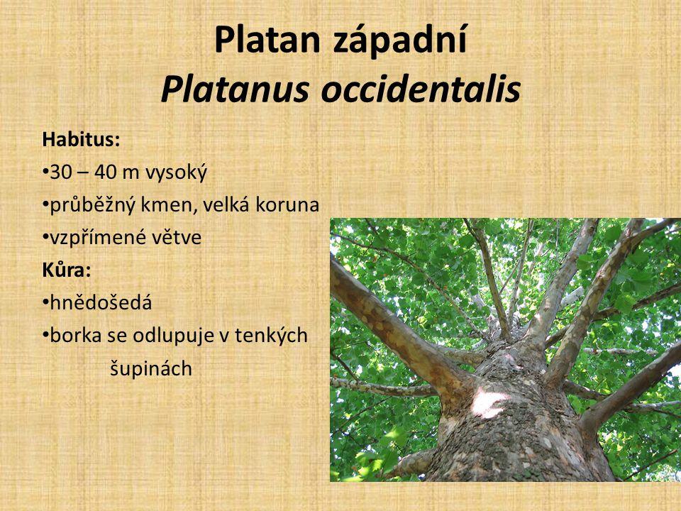 Platan západní Platanus occidentalis Habitus: 30 – 40 m vysoký průběžný kmen, velká koruna vzpřímené větve Kůra: hnědošedá borka se odlupuje v tenkých šupinách