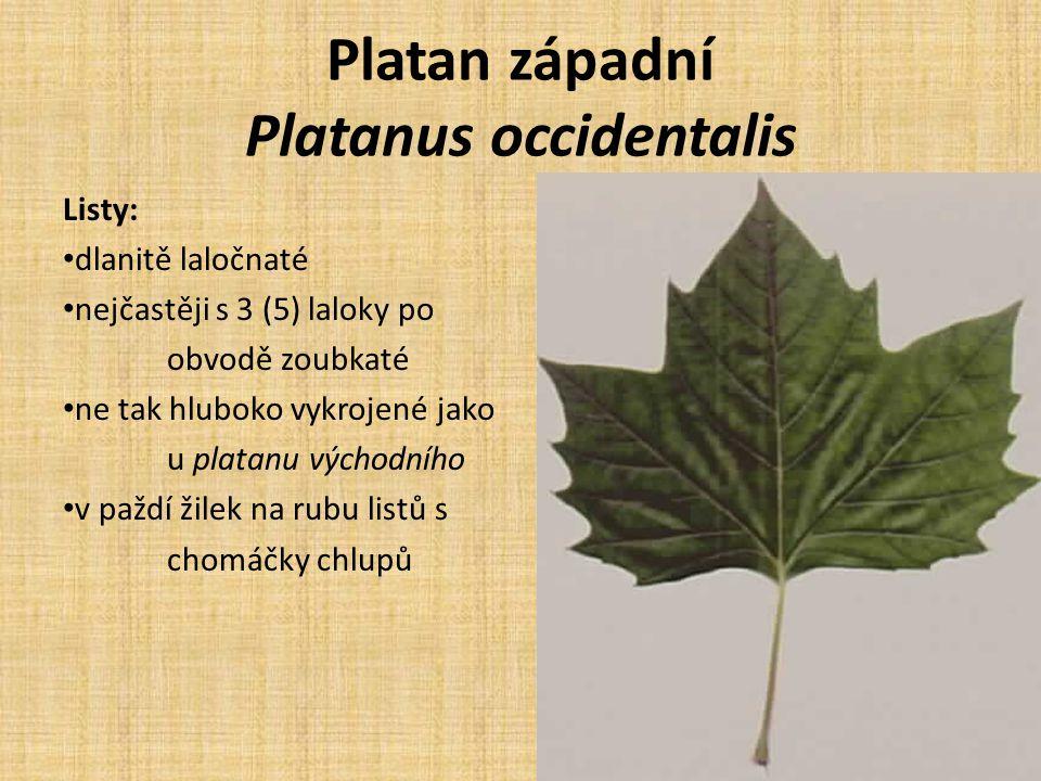 Platan západní Platanus occidentalis Listy: dlanitě laločnaté nejčastěji s 3 (5) laloky po obvodě zoubkaté ne tak hluboko vykrojené jako u platanu východního v paždí žilek na rubu listů s chomáčky chlupů