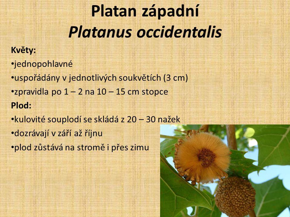Platan západní Platanus occidentalis Květy: jednopohlavné uspořádány v jednotlivých soukvětích (3 cm) zpravidla po 1 – 2 na 10 – 15 cm stopce Plod: kulovité souplodí se skládá z 20 – 30 nažek dozrávají v září až říjnu plod zůstává na stromě i přes zimu