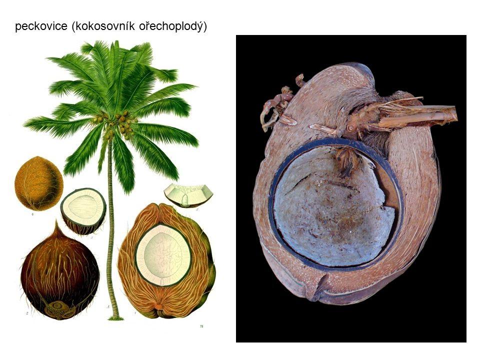 peckovice (kokosovník ořechoplodý)