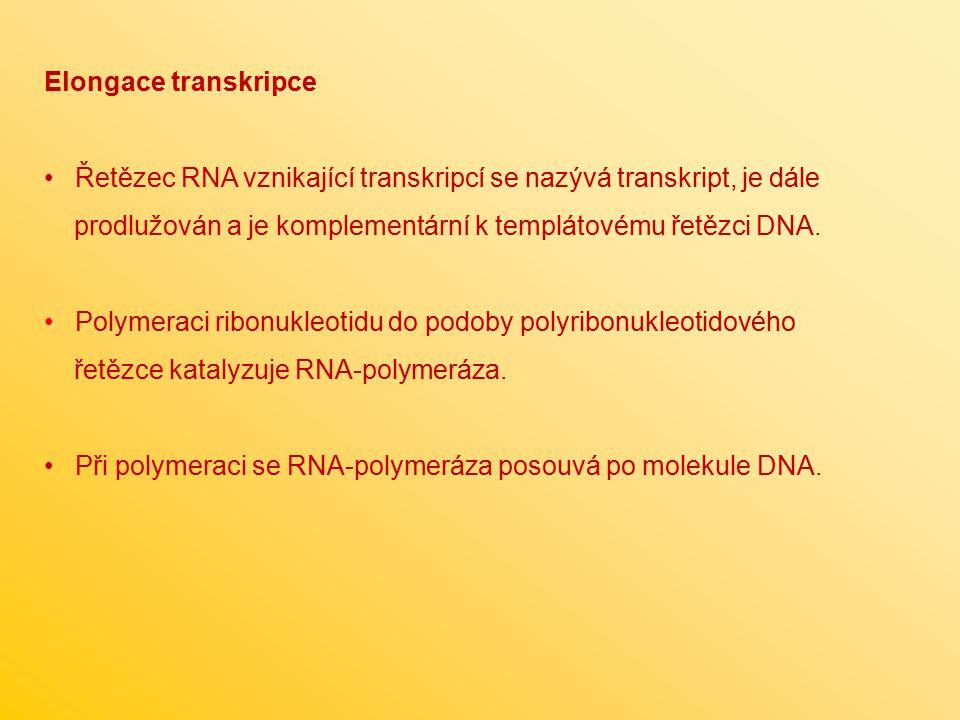 Elongace transkripce Řetězec RNA vznikající transkripcí se nazývá transkript, je dále prodlužován a je komplementární k templátovému řetězci DNA. Poly