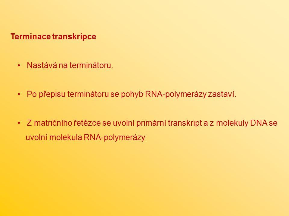 Terminace transkripce Nastává na terminátoru. Po přepisu terminátoru se pohyb RNA-polymerázy zastaví. Z matričního řetězce se uvolní primární transkri